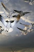 White Doves Flying in Sky Fine-Art Print