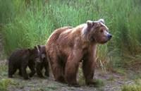 Brown Bear and Cubs Fine-Art Print