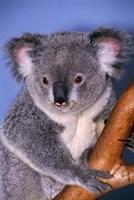 Baby Koala Holding Branch Fine-Art Print