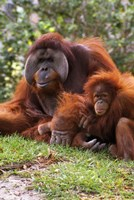 Two Orangutangs in Grass Fine-Art Print