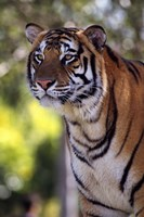 Gorgeous Tiger Close Up Fine-Art Print
