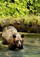 Brown Bear in Lake Fine-Art Print