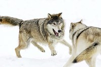 Wolves Fighting in Snow Fine-Art Print