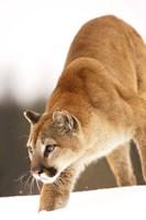 Bobcat on the Prowl Fine-Art Print