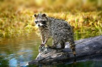 Soaking Wet Critter Coming out of Lake Fine-Art Print