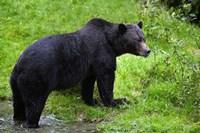 Black Bear Leaving Lake Fine-Art Print