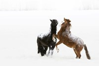 Black and Brown Horse in Snow Fine-Art Print