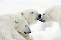 Three Polar Bears Nuzzling Noses Fine-Art Print