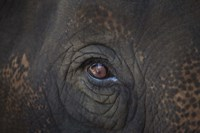 Close Up of Elephant Eye Fine-Art Print