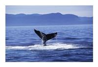 Tail fin of a Humpback Whale in the sea, Alaska, USA Fine-Art Print