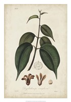 Medicinal Botany IV Fine-Art Print