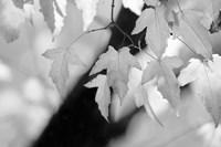Leaves and Light Fine-Art Print