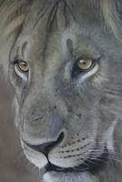 Lion King Fine-Art Print