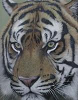 Sumatra Tiger Face Fine-Art Print