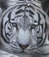 White Tiger Jackson Hole Fine-Art Print