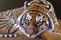 Sumatran Tiger Resting Fine-Art Print