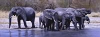 Elephants Drinking Fine-Art Print