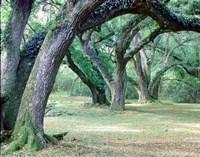 Louisiana Oaks, Louisiana 97 Fine-Art Print