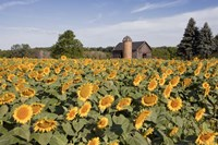 Sunflowers & Barn, Owosso, MI 10 Fine-Art Print