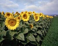 Sunflowers Sentinels, Rome, Italy 87 Fine-Art Print