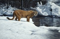 Waters Edge - Cougar Fine-Art Print