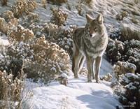 Winter Sage- Coyote Fine-Art Print