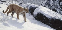 Soft Snow- Cougar Fine-Art Print