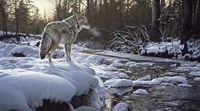Winter Creek - Coyote Fine-Art Print