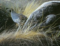 California Quail Fine-Art Print
