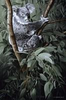 Eucalyptus Climber Fine-Art Print
