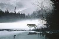 Spring Mist - Gray Wolf Fine-Art Print