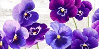 Dance of Pansies Fine-Art Print