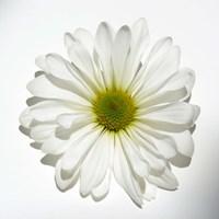 White Daisy II Fine-Art Print