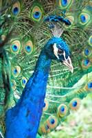 Royally Blue II Fine-Art Print
