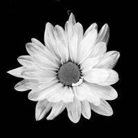White Daisy I Fine-Art Print