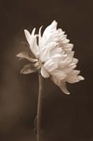 Sepia Flower I Fine-Art Print