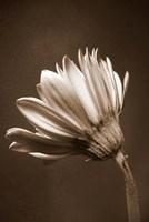 Sepia Flower II Fine-Art Print