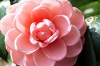 Coral Bloom Fine-Art Print