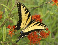 Black Yellow Butterfly II Fine-Art Print
