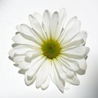 White Daisy Fine-Art Print