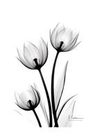 Tulips High Contrast Fine-Art Print