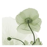 Sage Iceland Poppy Fine-Art Print