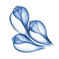 Blue Three Conch Fine-Art Print