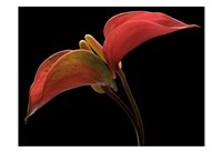 Anthurium 2 Fine-Art Print