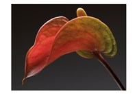Anthurium 3 Fine-Art Print