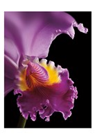 Purple Orchid Fine-Art Print