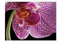 Purple Orchid 2 Fine-Art Print