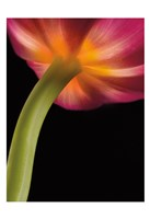 Glowing Tulip Fine-Art Print