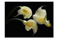 Three Calla Lillies Fine-Art Print