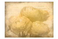 Ranunkeln Blooms Fine-Art Print